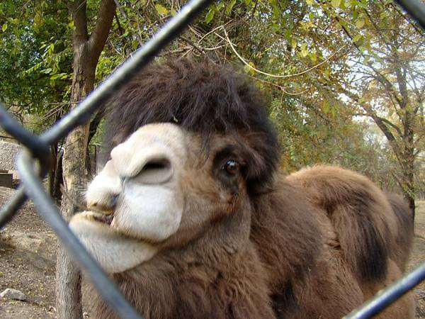 Верблюд, фото новости о животных фотография мозоленогие