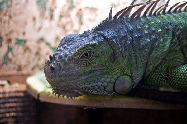 Зеленая игуана (Iguana iguana), фото рептилии фотография ящерицы