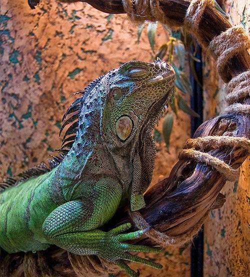 Зеленая игуана (Iguana iguana), фото террариум фотография рептилии