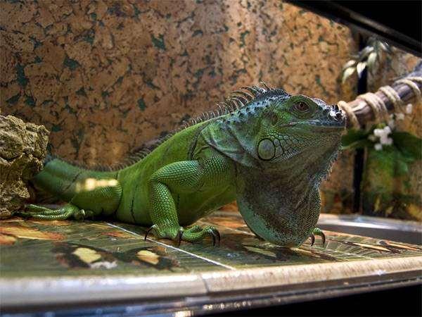 Зеленая игуана (Iguana iguana), фото содержание рептилий фотография