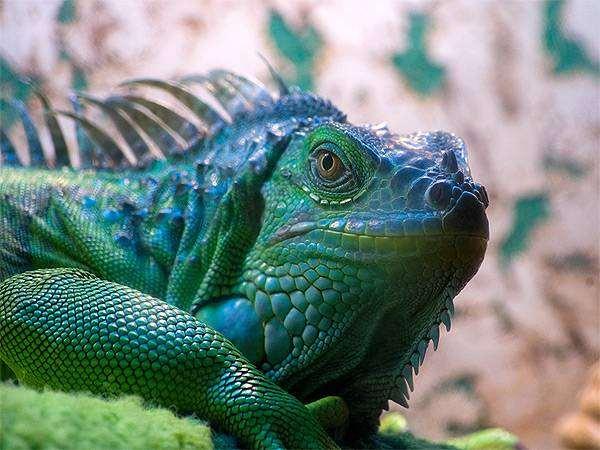 Зеленая игуана (Iguana iguana), фото содержание болезни ящериц рептилий фотография