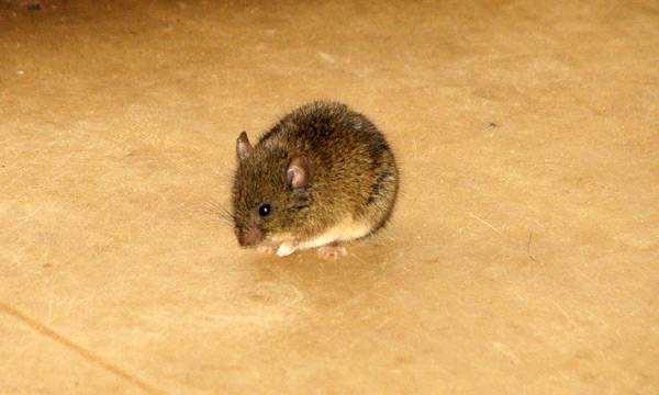 Дикая мышь мышка, фото грызуны фотография