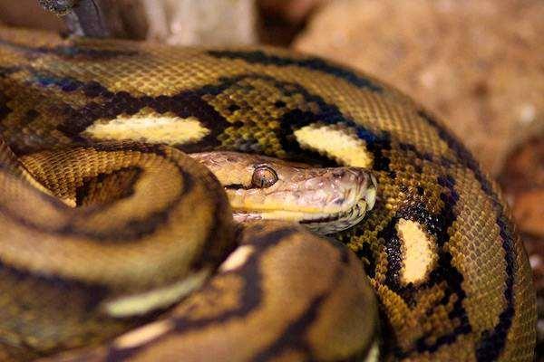 Сетчатый питон (Python reticulatus), фото новости о животных рептилии