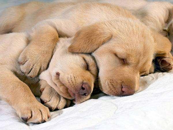Спящие щенки лабрадора-ретривера, фото новости о животных фотография собаки