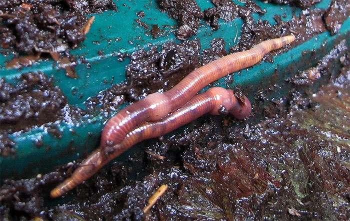 Выращивание черви 73