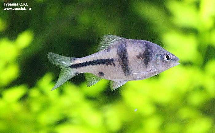 барбус хищная рыба или нет