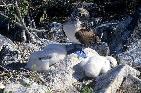 Голубоногая олуша (Sula nebouxii) с птенцами, фото веслоногие птицы фотография