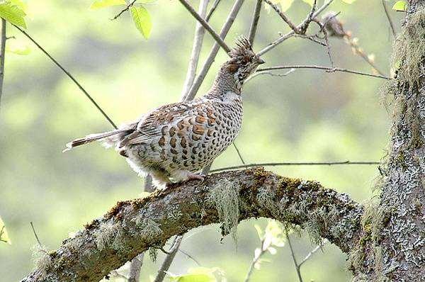 Рябчик (Tetrastes bonasia), фото куриные птицы фотография