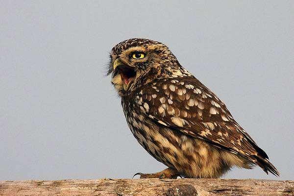 Домовый сыч (Athene noctua), фото птицы фотография совы
