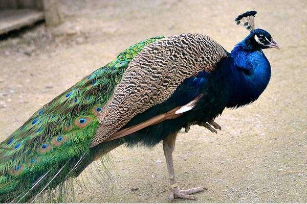 Обыкновенный павлин (Pavo cristatus), фото фазановые птицы фотография