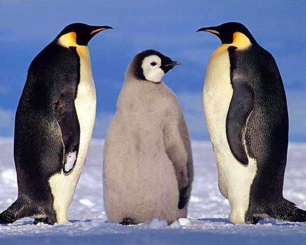Императорские пингвины с птенцом (Aptenodytes forsteri), фото птицы фотография