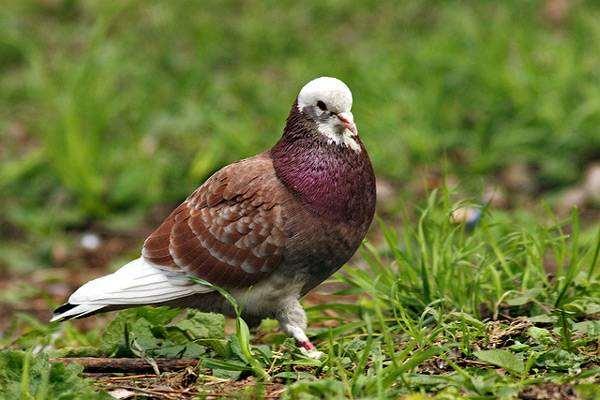 Голубь, фото птицы фотография