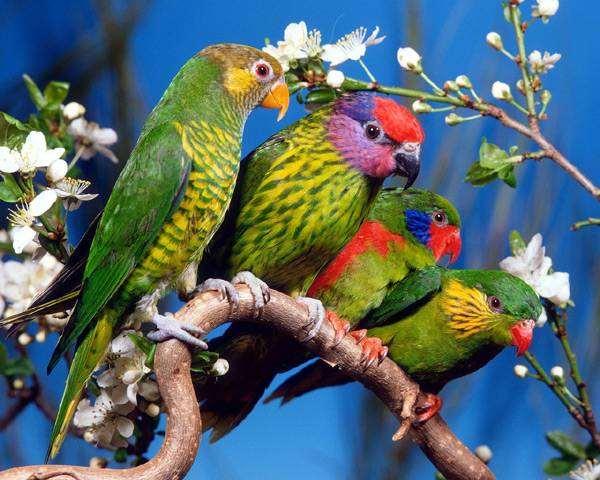 Попугаи, фото птицы фотография разведение птиц