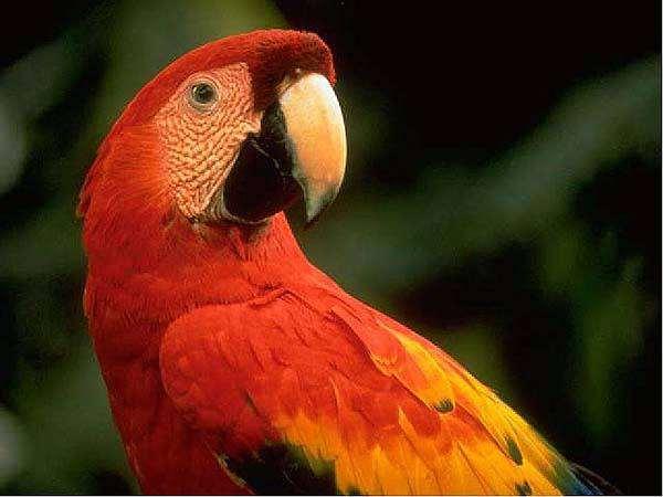 Красный ара (Ara macao), фото попугаи фотография
