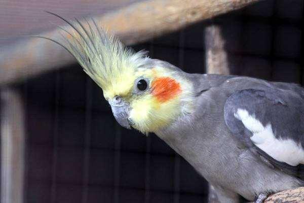 Нимфа, или попугай корелла (Nymphicus hollandicus), фото птицы фотография