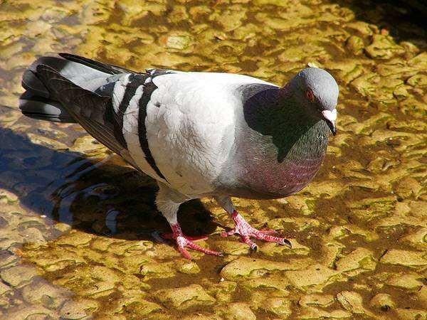 Сизый голубь, фото птицы фотография