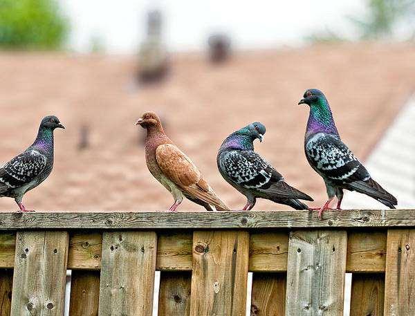 Сизые голуби, фото птицы фотография