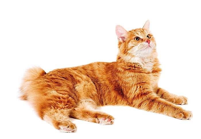 Курильский бобтейл, фото фотография породы кошек