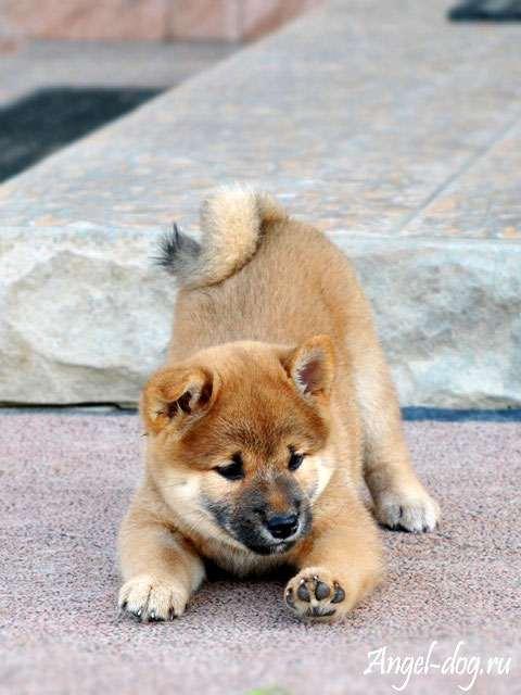 сиба ину фото щенки