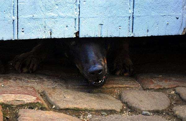 Агрессивная собака, фото новости о животных фотография