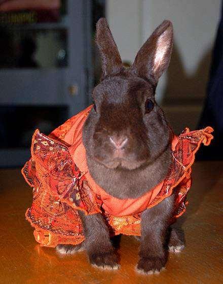 Карликовый декоративный кролик, фото фотография