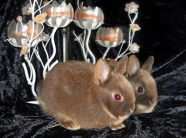Декоративный карликовый кролик, фото кролики вопросы ответы фотография