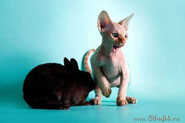 Декоративный кролик и котенок, фото фотография