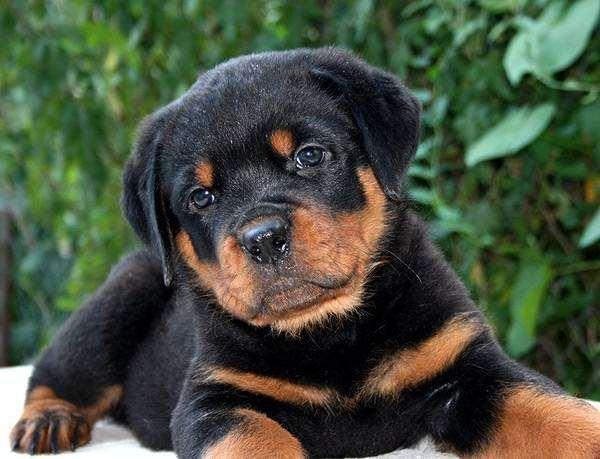 Щенок ротвейлера, фото породы собак фотография