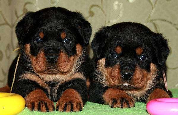 Щенки ротвейлера, фото новости о животных фотография собаки