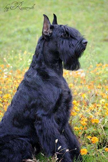 Ризеншнауцер, фото вопросы ответы о собаках фотография