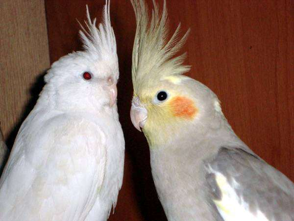 Кореллы нимфы, фото попугаи фотографии
