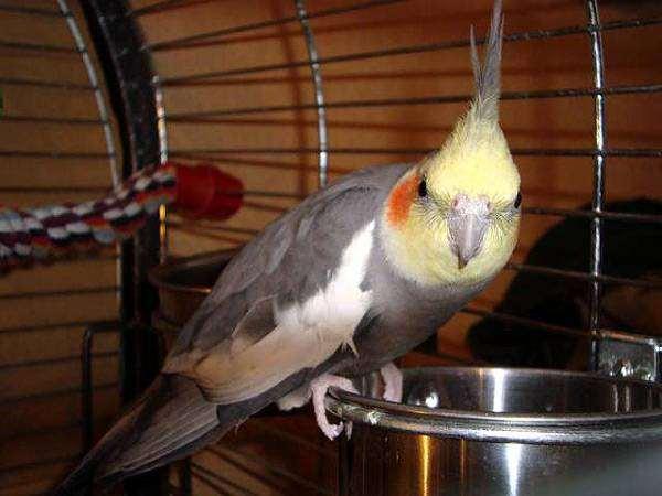 Корелла, нимфа, фото попугаи фотография
