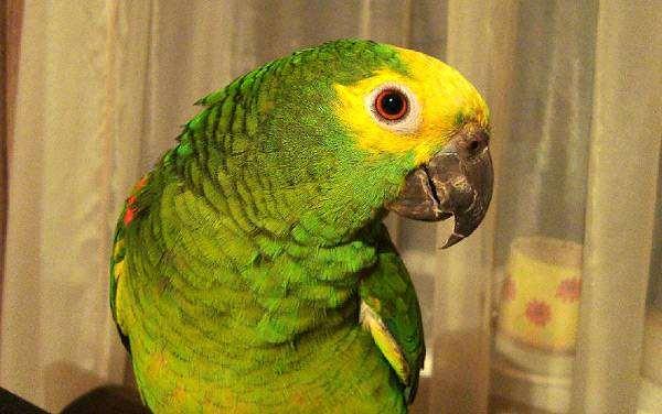 Синелобый амазон (Amazona aestiva), фото вопросы ответы о попугаях фотография