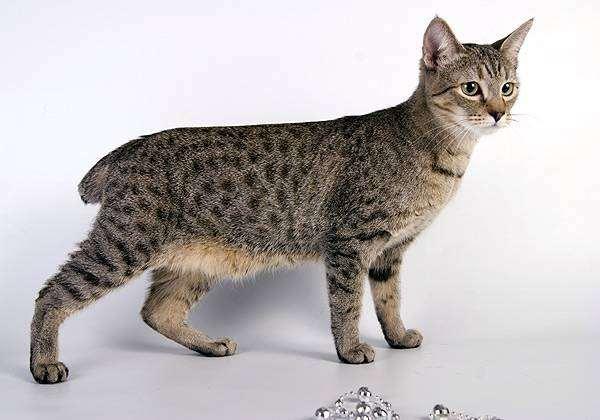 Пиксибоб, пикси-боб (Pixie Bob), фото породы кошек фотография