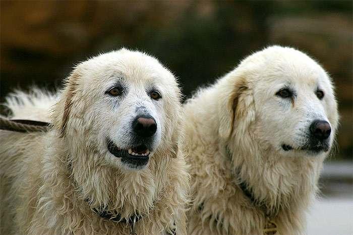 абруцкие овчарки