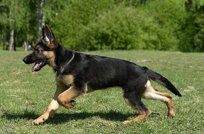 немецкие собаки