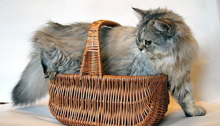 Как часто следует гнать глистов у кошек? Как часто следует гнать ...