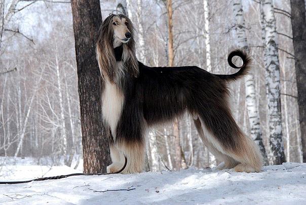 Афганская борзая, фото собаки фотография