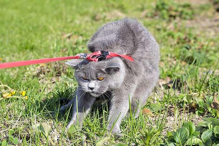 Британский кот на поводке упирается и не хочет идти, фото фотография