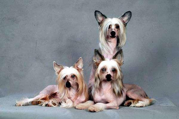 Китайские хохлатые собаки, фото породы собак фотография