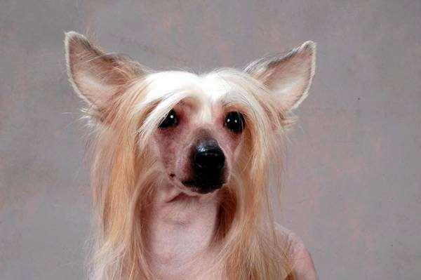 Китайская хохлатая собака, фото породы собак фотография