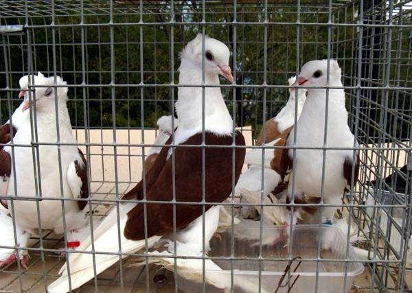 Голуби в клетке, фото содержание голубей птицы фотография