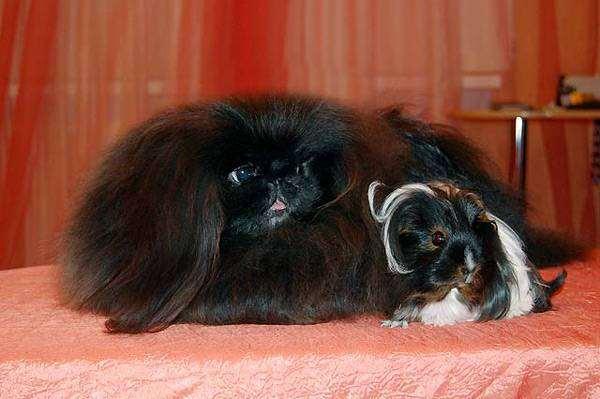 Пекинес и морская свинка, фото породы собак фотография