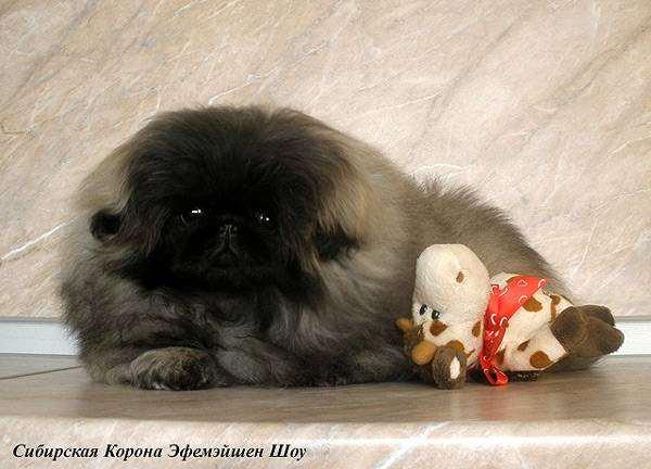 Пекинес, фото породы собак изображение