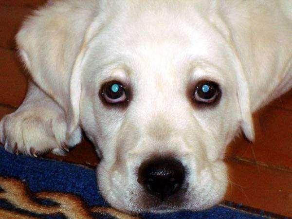 Щенок лабрадора ретривера, фото собаки фотография