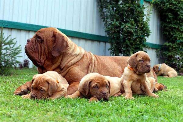 Бордоский дог и щенки, фото породы собак фотография