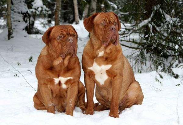 Бордоские доги, фото породы собак фотография