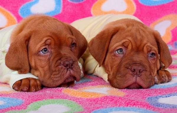 Щенки бордоского дога, фото породы собак фотография