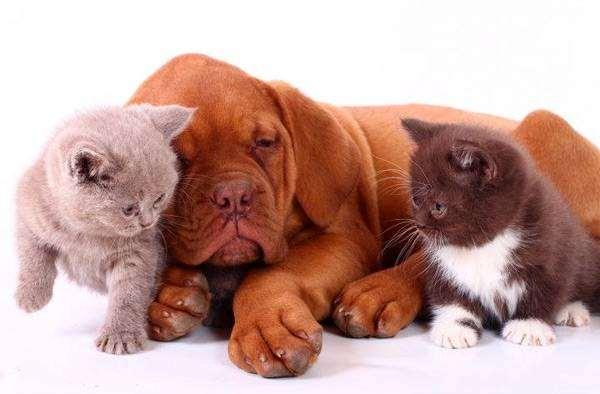 Щенок бордоского дога и котята, фото воспитание выращивание щенков фотография