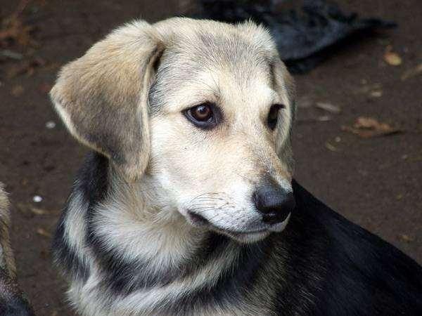 Собака аланов или боевые собаки прошлого » Газета «Республика» | 450x600